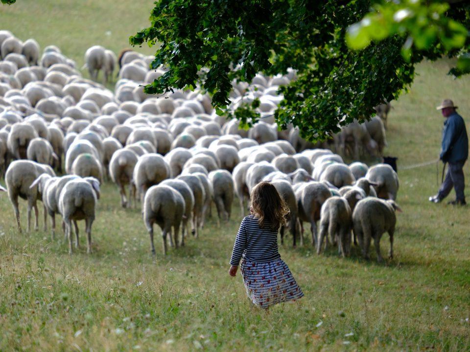 Povratak prirodi, ovce