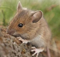 Mišja groznica simptomi